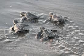 Shangri La Oman Resort turtles